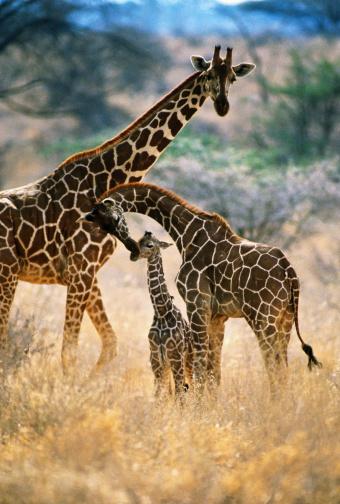 Giraffe「Reticulated giraffes (Giraffa camelopardalis reticulata), Kenya」:スマホ壁紙(0)