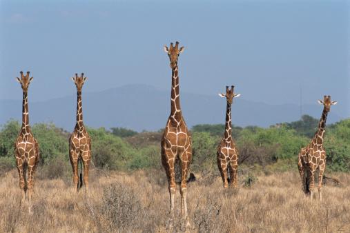 Giraffe「Reticulated giraffes on alert」:スマホ壁紙(8)