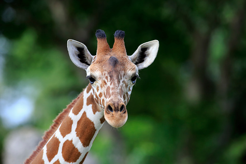 Giraffe「Reticulated Giraffe, (Giraffa camelopardalis reticulata)」:スマホ壁紙(5)