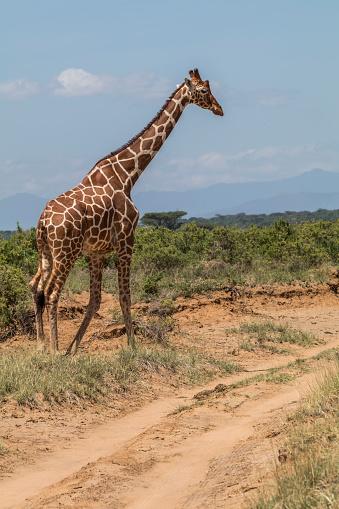 キリン「Reticulated Giraffe (giraffa Camelopardalis Reticulata), Samburu National Park, Kenya」:スマホ壁紙(3)