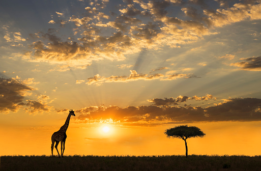 Giraffe「A  reticulated giraffe (Giraffa reticulate) and an Acacia tree in the savannah at sunset」:スマホ壁紙(18)