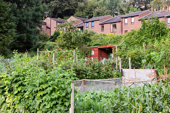 Community Garden「Allotments for growing fruit, vegetables and flowers in Durham, UK. Allotments allow local people to grow their own vegetables and cut down hugely on food miles.」:写真・画像(1)[壁紙.com]