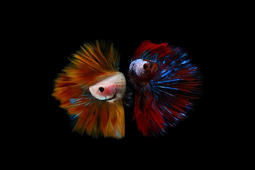 Alertness「Two multi-colored betta fish」:スマホ壁紙(4)