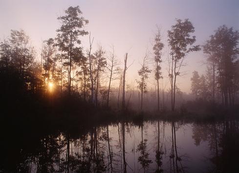 Ash Tree「Sunrise through whit ash trees in marsh」:スマホ壁紙(18)