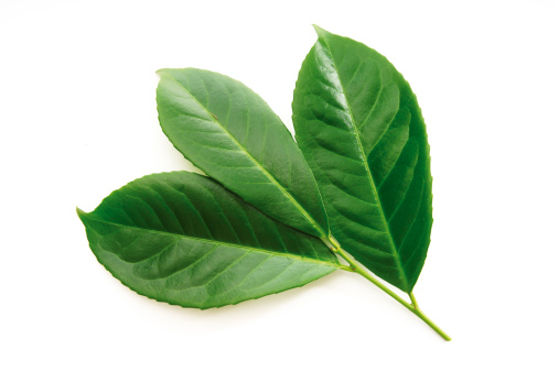Bay Leaf「Laurel leaves, Prunus laurocerasus」:スマホ壁紙(9)