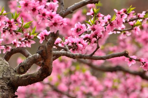 プラムの木「自然美」:スマホ壁紙(5)