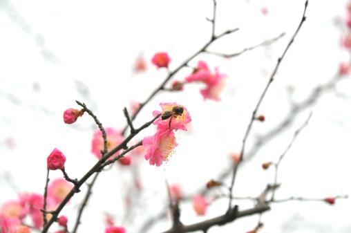梅の花「自然美」:スマホ壁紙(18)