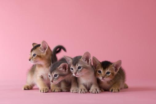 子猫「Four Abyssinian Kittens」:スマホ壁紙(15)