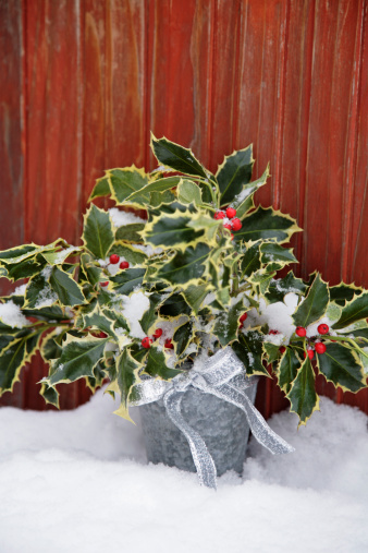 Decoration「Holly plant in snow」:スマホ壁紙(11)