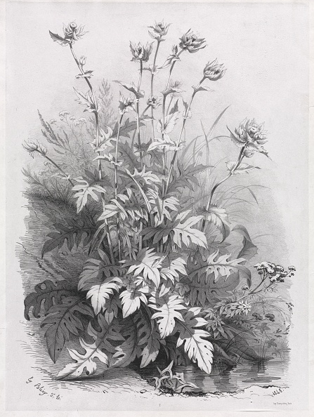 Variation「Groups Of Various Plants Drawn After Nature: No. 7」:写真・画像(16)[壁紙.com]