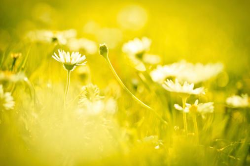 花畑「カモミールの花のフィールド」:スマホ壁紙(14)
