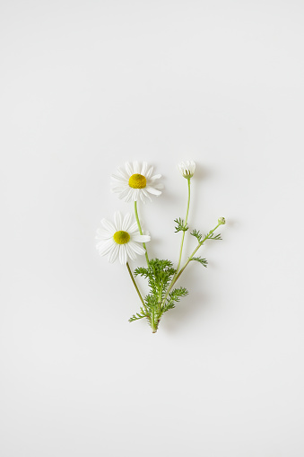 Healing「chamomile flowers」:スマホ壁紙(16)