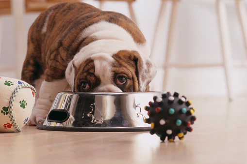 Stool「Bulldog Puppy Eating Out of Bowl」:スマホ壁紙(13)