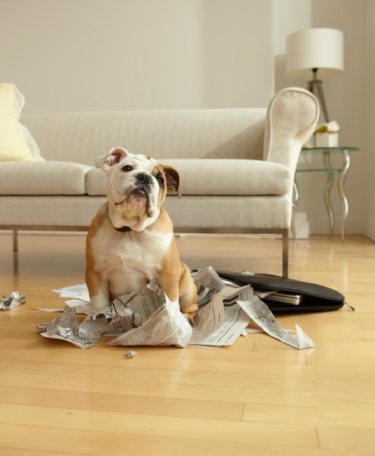 Mischief「Bulldog Puppy Sitting Near Chewed Up Paperwork」:スマホ壁紙(12)