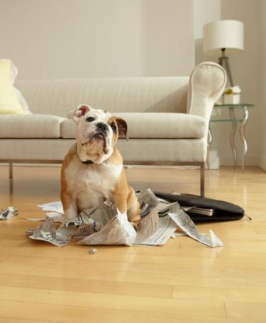Baby animal「Bulldog Puppy Sitting Near Chewed Up Paperwork」:スマホ壁紙(9)
