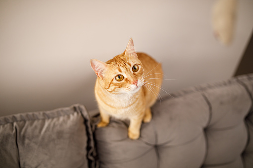 Mixed-Breed Cat「Cat on sofa playing with toy」:スマホ壁紙(2)