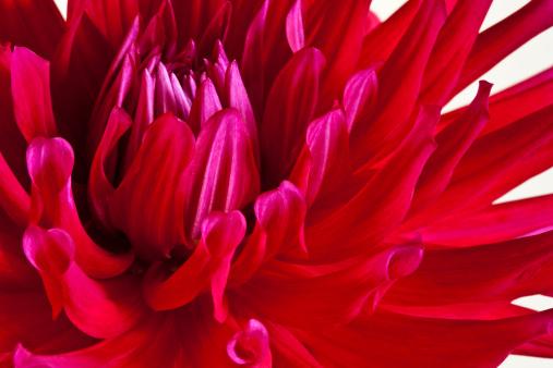 flower「Red cactus dhalia」:スマホ壁紙(18)