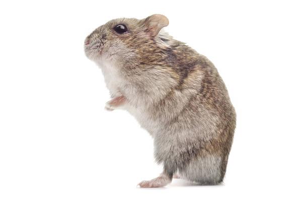 djungarian hamster:スマホ壁紙(壁紙.com)