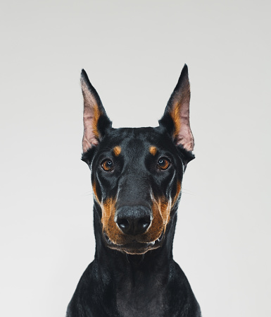 Animal Hair「Dobermann dog portrait looking at camera」:スマホ壁紙(13)