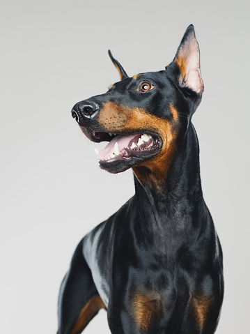Animal Ear「Dobermann dog portrait standing」:スマホ壁紙(4)
