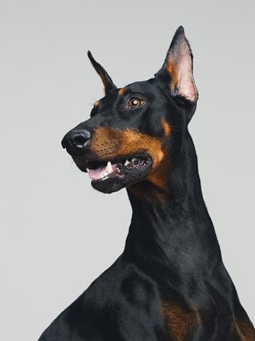 Sitting「Dobermann dog portrait posing」:スマホ壁紙(5)