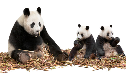 Panda「Panda family eating bamboo shoots」:スマホ壁紙(11)