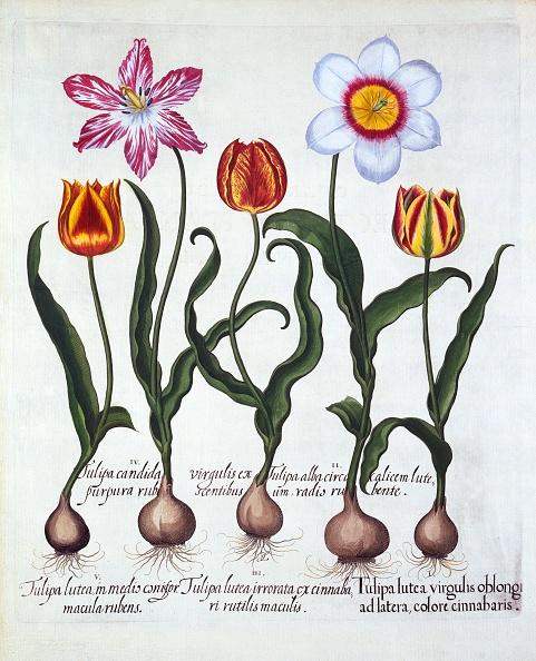 Netherlands「Five Tulips」:写真・画像(10)[壁紙.com]