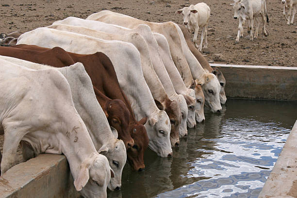 Row of young cattle drinking water in Isiolo, Kenya:スマホ壁紙(壁紙.com)