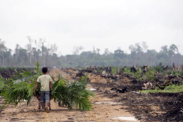Crop - Plant「Deforestation Continues In Sumatra」:写真・画像(15)[壁紙.com]
