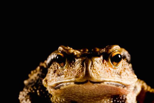 Ugliness「Japanese common toad (Bufo japonicus formosus) on black background, close-up」:スマホ壁紙(9)