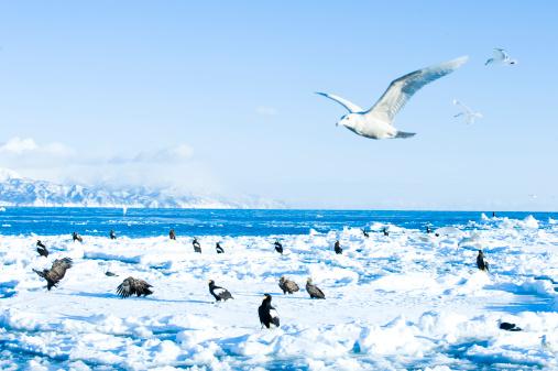 流氷「Sea Gulls and Eagles」:スマホ壁紙(11)