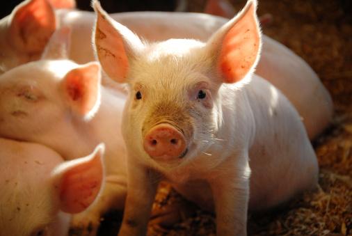 Pig「This Little Piggie...」:スマホ壁紙(7)
