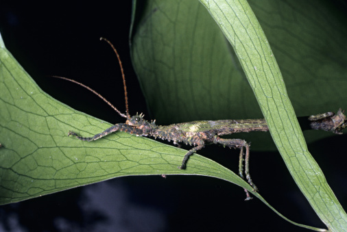 Bolivian Andes「Walking Stick (Phasmatodea) on leaf in cloud forest, western Andes Mountains, Ecuador」:スマホ壁紙(4)