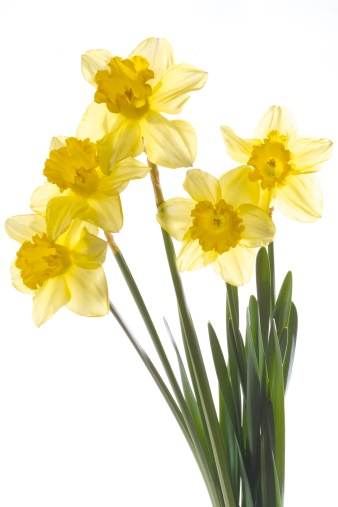 Daffodil「Yellow daffodils (Narcissus pseudonarcissus), close-up」:スマホ壁紙(11)