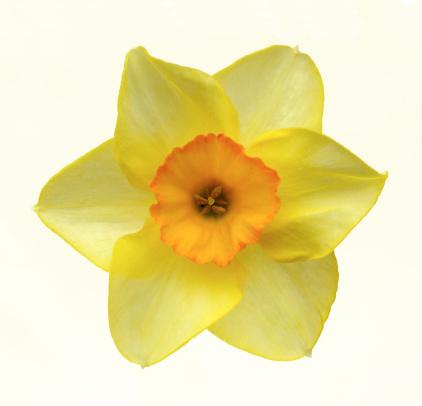 水仙「Yellow daffodil with orange centre in close-up.」:スマホ壁紙(12)