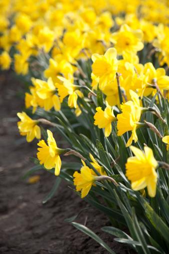 水仙「Yellow daffodils」:スマホ壁紙(3)