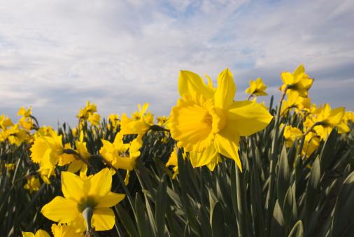 水仙「黄色 daffodils -I」:スマホ壁紙(18)