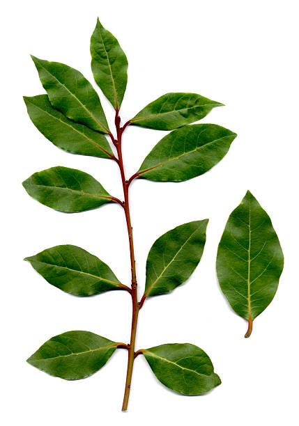 bay leaves, Laurus nobilis:スマホ壁紙(壁紙.com)