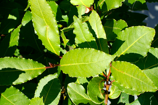 Bay Leaf「Bay leaves」:スマホ壁紙(12)