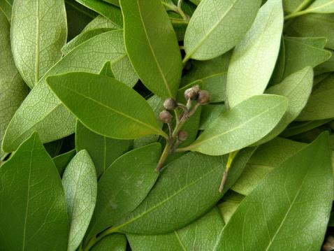 Bay Leaf「Bay Leaves」:スマホ壁紙(1)