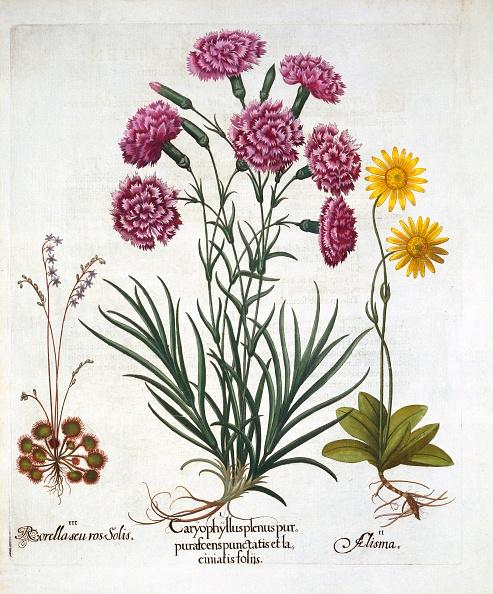 カーネーション「I Carnation」:写真・画像(6)[壁紙.com]