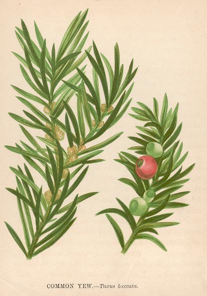 Pine Cone「Common Yew」:写真・画像(5)[壁紙.com]