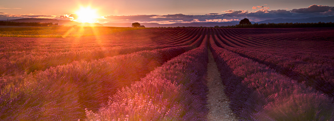 花畑「サンセットの lavanda フィールド」:スマホ壁紙(5)