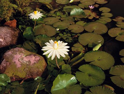 Water Lily「Royal Water-lilies」:スマホ壁紙(2)