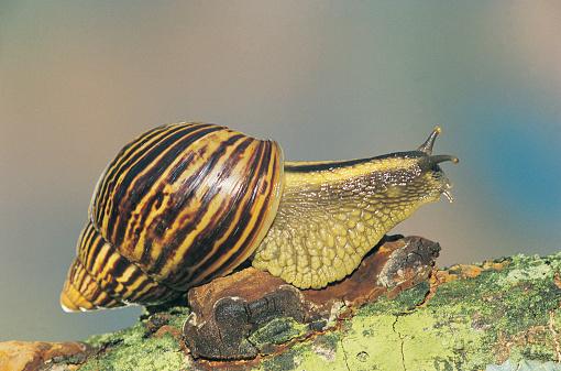 カタツムリ「Snail on tree branch, Southern Africa」:スマホ壁紙(4)