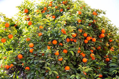 Grove「Tree with many orange son it.」:スマホ壁紙(6)