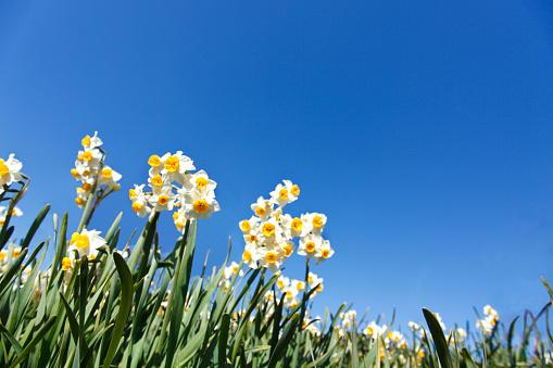 水仙「Narcissus」:スマホ壁紙(18)