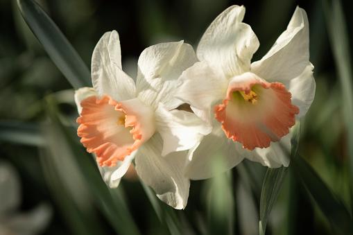 水仙「Narcissus Pink Charm Flower Duet」:スマホ壁紙(8)