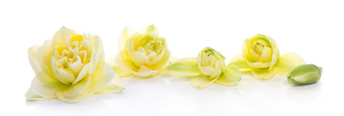水仙「Narcissus (XXL」:スマホ壁紙(1)