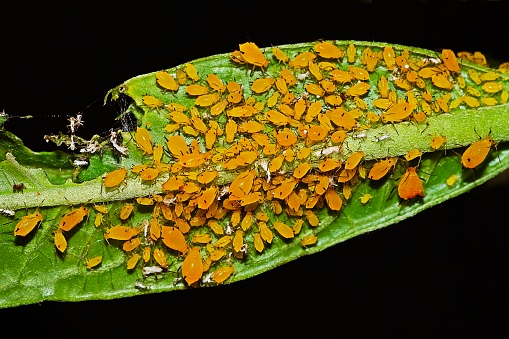 Insecticide「Aphid community on branch (black background)」:スマホ壁紙(8)